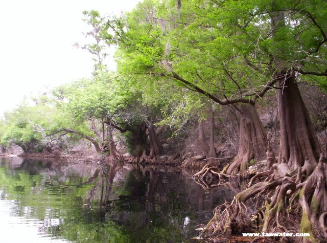 Scenic photo of bare root cypress trees on the Suwannee River - thumbnail