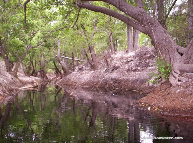 Oak trees over hanging a creek that flows into the Suwannee River