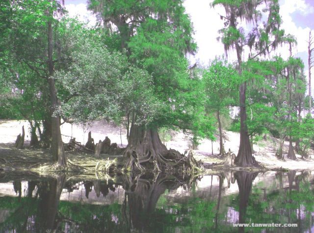 Scenic photo of cypress trees on the Suwannee River - thumbnail