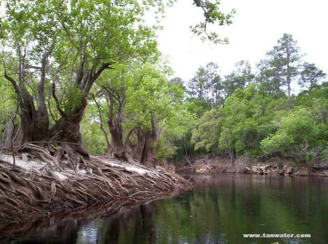 Photo of tupelo trees growing in the Suwannee River between Roline Landing and Turner Bridge Boat Ramp.