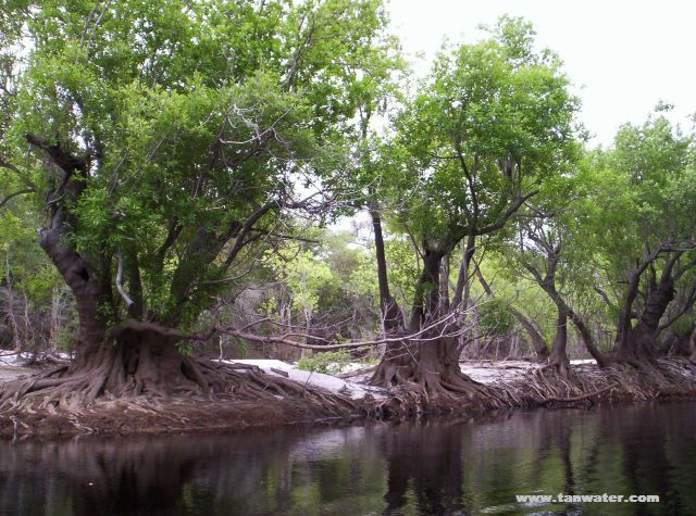 Scenic photo of twisted tupelo trees on Suwannee River sandbar- thumbnail