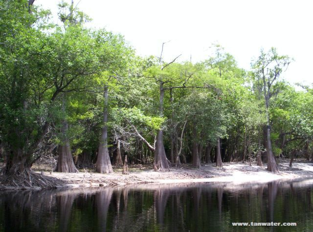 Cypress and tupelo trees on a Suwannee River sandbar