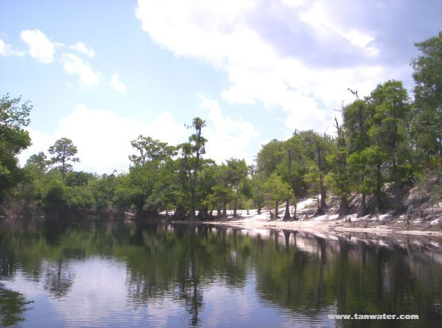 Cypress trees on a Suwannee River sandbar