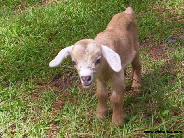 Baby Goatsbaby goats